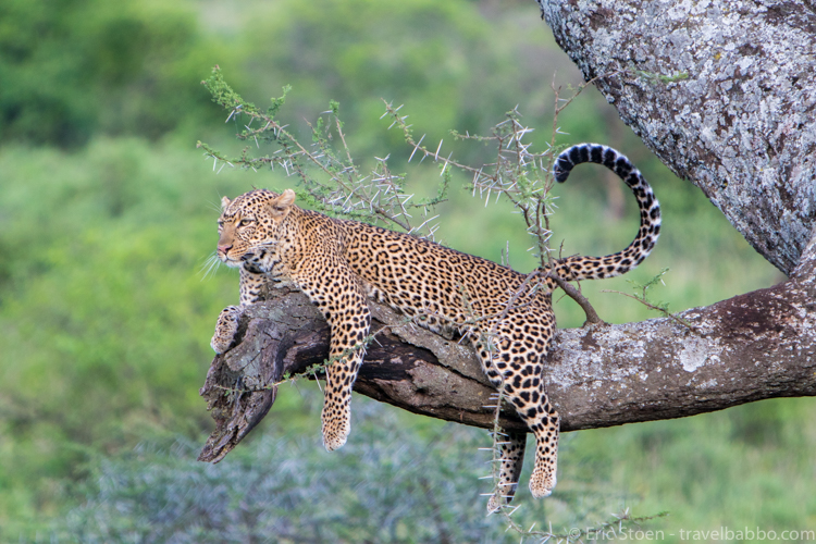 African family safari - A leopard hanging out not far from our Serengeti camp.