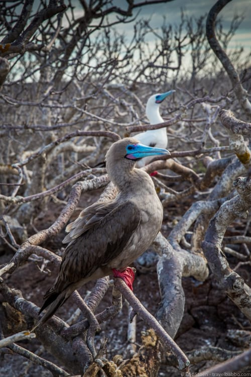 Galapagos with Kids - Red-footed boobies on Genovesa Island